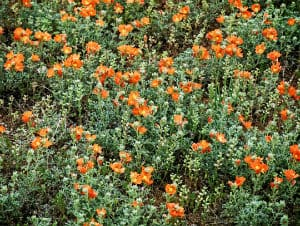 native-poppy-flowers